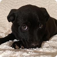 Adopt A Pet :: Brutus - SOUTHINGTON, CT