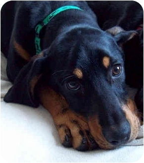 Dolly | Adopted Puppy | Jacksonville, FL | Black and Tan ...
