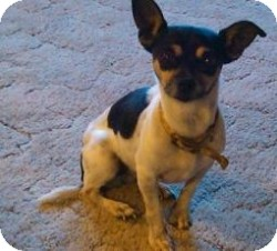 Chihuahua/Terrier (Unknown Type, Small) Mix Dog for adoption in Mesa, Arizona - Page