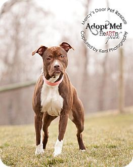 American Pit Bull Terrier/Boxer Mix Dog for adoption in Medina, Ohio - Electra