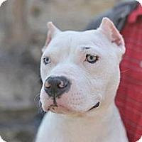 Adopt A Pet :: Potter - Des Peres, MO