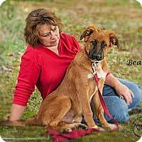 Adopt A Pet :: Bear - Westfield, NY