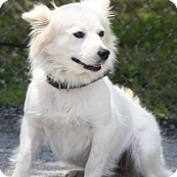 Adopt A Pet :: Snowflake (Reduced) - Brattleboro, VT