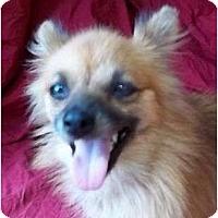 Adopt A Pet :: Evangeline - Allentown, PA