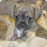 Adopt A Pet :: AMBER - Tumwater, WA