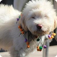 Adopt A Pet :: Prada - Norwalk, CT