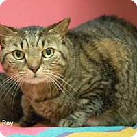 Domestic Shorthair Cat for adoption in Merrifield, Virginia - Ray