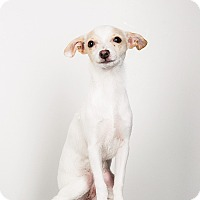 Adopt A Pet :: Abby- Perfect Puppy! - Redondo Beach, CA