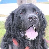 Adopt A Pet :: Newfie ADOPTION PENDING - Waldorf, MD