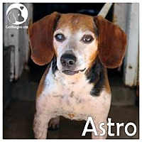 Adopt A Pet :: Astro - Chicago, IL