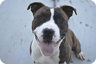 American Pit Bull Terrier/American Staffordshire Terrier Mix Dog for adoption in Prince George, Virginia - Dean