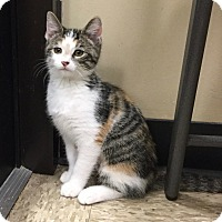 Adopt A Pet :: Patches - Colmar, PA