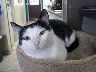 Domestic Shorthair Cat for adoption in Polson, Montana - Cindy Lou