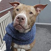 Adopt A Pet :: Piper - Brooklyn, NY