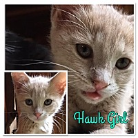 Adopt A Pet :: Hawk Girl - McDonough, GA