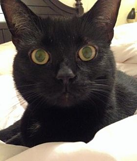 Domestic Shorthair Cat for adoption in Asheville, North Carolina - Wednesday (Courtesy Post)