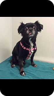 Pekingese/Chihuahua Mix Dog for adoption in Gilbert, Arizona - Chloe