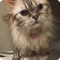 Adopt A Pet :: Lolipop - Gilbert, AZ