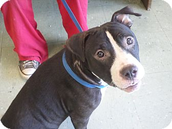 American Staffordshire Terrier Mix Dog for adoption in Cleveland, Mississippi - SERENDIPITY