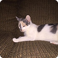 Calico Cat for adoption in Winnipeg, Manitoba - Smudge