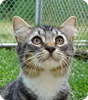 Domestic Shorthair Kitten for adoption in St. Francisville, Louisiana - Goliath