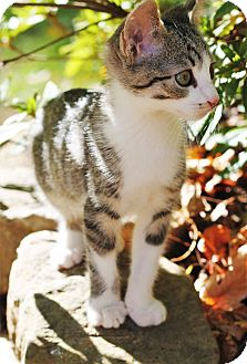 Domestic Shorthair Kitten for adoption in Knoxville, Tennessee - Fili
