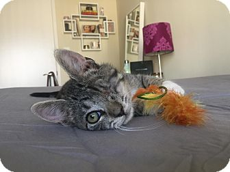 Domestic Shorthair Kitten for adoption in Los Angeles, California - Brenna
