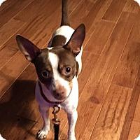 Adopt A Pet :: Chorizo - Independence, MO