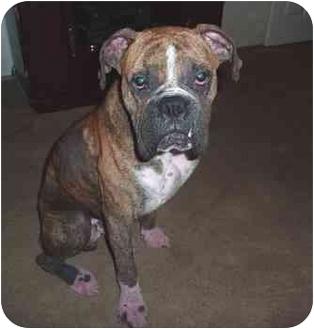 Boxer Mix Dog for adoption in Thomasville, Georgia - Skip