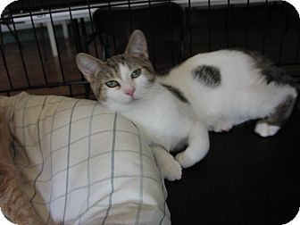 Domestic Shorthair Kitten for adoption in Speonk, New York - Danielle