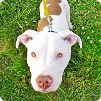 Adopt A Pet :: Spencer - Reisterstown, MD