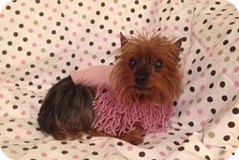 yorkie for adoption in nc sassy adopted dog charlotte nc yorkie yorkshire 3781