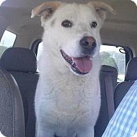Adopt A Pet :: Harley - Bardonia, NY