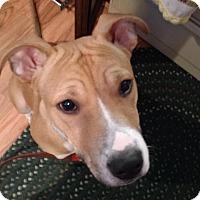 Adopt A Pet :: Bently - Grand Rapids, MI
