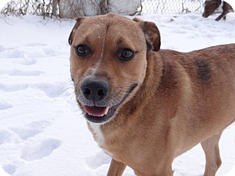 Labrador Retriever/Shepherd (Unknown Type) Mix Dog for adoption in Lawrenceville, Illinois - Mack