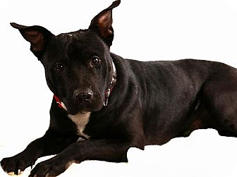 Pit Bull Terrier Dog for adoption in Pegram, Tennessee - BUCKY