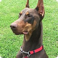 Adopt A Pet :: Bowman - Arlington, VA