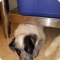 Adopt A Pet :: Oreo - Fair Oaks Ranch, TX