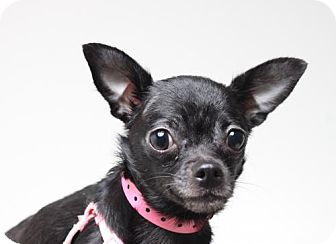 Chihuahua Dog for adoption in Edina, Minnesota - Posh  D160980