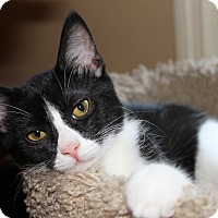 Adopt A Pet :: Gizmo - Knoxville, TN