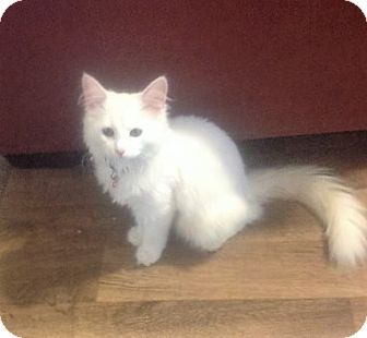 Domestic Mediumhair Cat for adoption in Columbia, South Carolina - Marshmellow