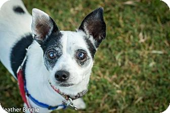 Jack Russell Terrier Mix Dog for adoption in Tucson, Arizona - Scarlett Rose