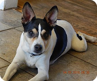 Rat Terrier/Terrier (Unknown Type, Medium) Mix Dog for adoption in West Sand Lake, New York - JoJo(24 lb) New Pics & Video