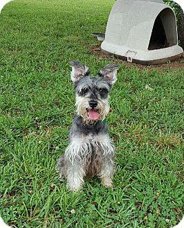 Schnauzer (Miniature) Dog for adoption in Harrisonburg, Virginia - Jager
