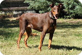 Doberman Pinscher Dog for adoption in Greensboro, North Carolina - KOTA