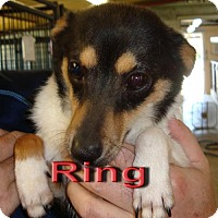 Adopt A Pet :: Ring - Coleman, TX