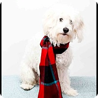 Adopt A Pet :: Buddy Bell - Richardson, TX