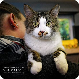 Domestic Shorthair Cat for adoption in Edwardsville, Illinois - Kandice