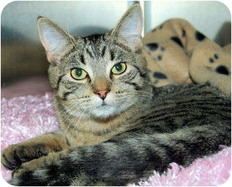 Domestic Shorthair Cat for adoption in Edmonton, Alberta - Zsa Zsa