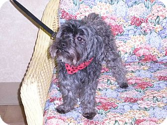 "Poodle (Miniature) Mix Dog for adoption in New Castle, Pennsylvania - "" Pierre """